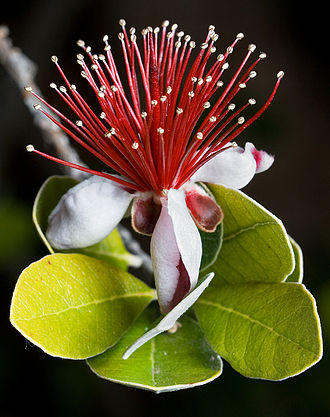 330px-Feijoa_sellowiana_edit